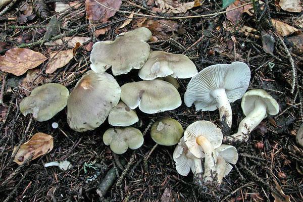 Tricholoma saponaceum (Fr.) P. Kumm. 1871 (NON COMMESTIBILE) Foto Emilio Pini