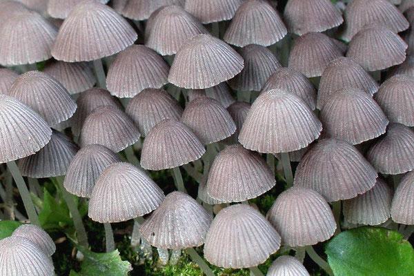 Coprinus disseminatus (Pers.) Gray (NON COMMESTIBILE) Foto Emilio Pini