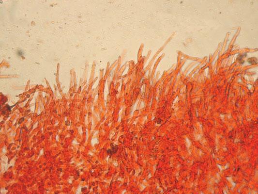 Russula mustelina Fr. 1838 (COMMESTIBILE) Foto Emilio Pini