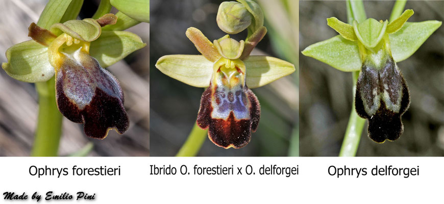Ophrys delforgei x Ophrys forestieri
