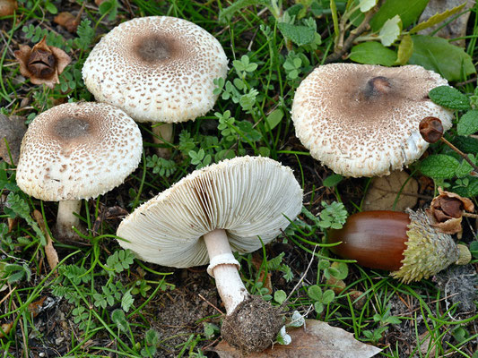 Macrolepiota phaeodisca Bellù (COMMESTIBILE) Foto Emilio Pini
