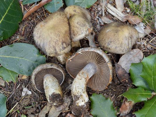Cortinarius infractus (Pers.) Fr. (NON COMMESTIBILE) Foto Emilio Pini