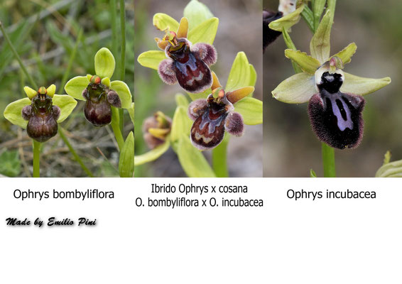 Ophrys bombyliflora x Ophrys incubacea