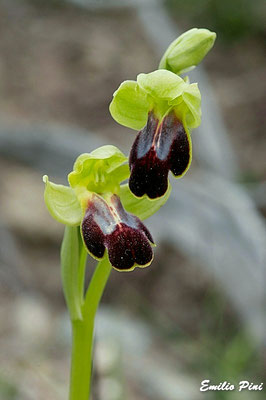 Ophrys forestieri