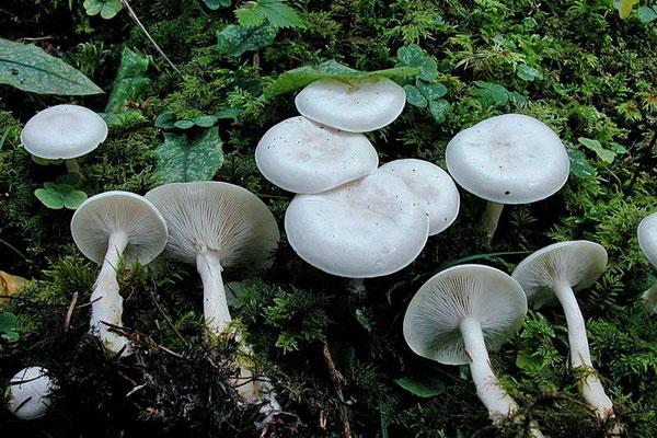 Clitocybe dealbata (Sowerby) P. Kumm. (VELENOSO) Foto Emilio Pini