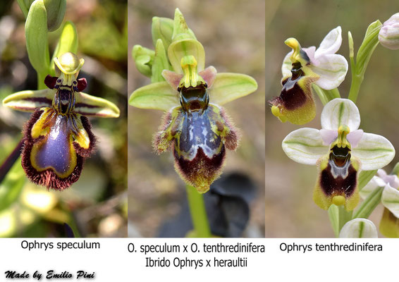Ophrys speculum x Ophrys tentredinifera