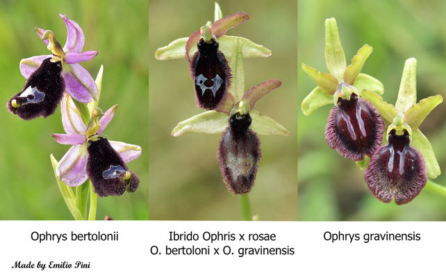 Ophrys bertolonii x Ophrys bgravinensis