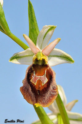 Ophrys crabronifera