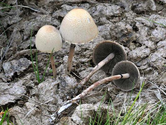 Panaeolus campanulatus (L.) Quél. 1872 (NON COMMESTIBILE) Foto Emilio PIni