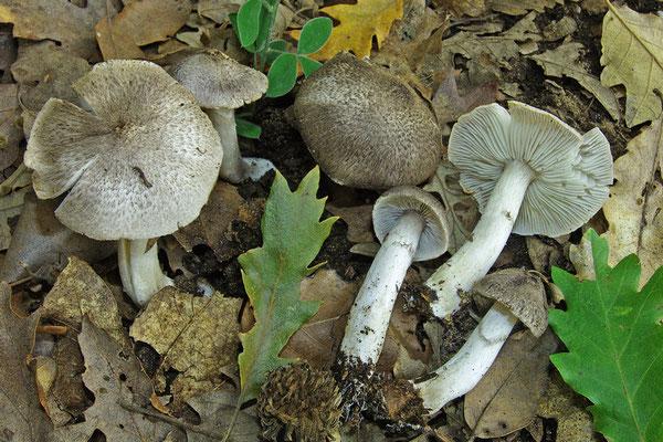 Tricholoma scalpturatum var. atrocinctum Romagn. (COMMESTIBILE) Foto Emilio Pini