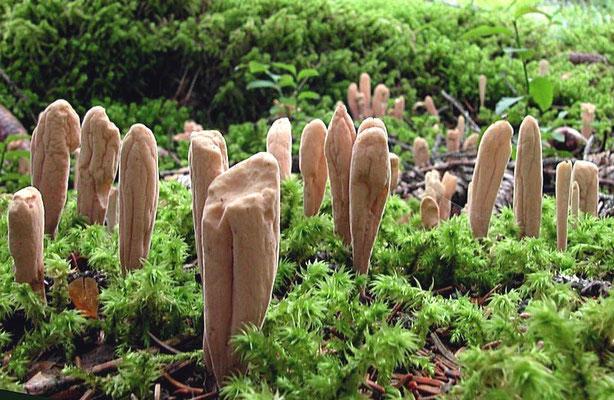 Clavariadelphus ligula (Schaeff.) Donk  (NON COMMESTIBILE)                              Foto Emilio Pini
