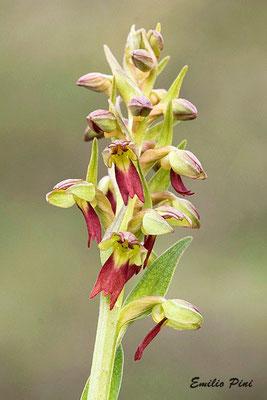 Coeloglossum viridis (Regione Emilia Romagna)