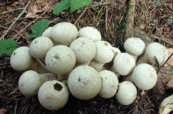 Lycoperdon perlatum Pers. (COMMESTIBILE) Foto Emilio Pini