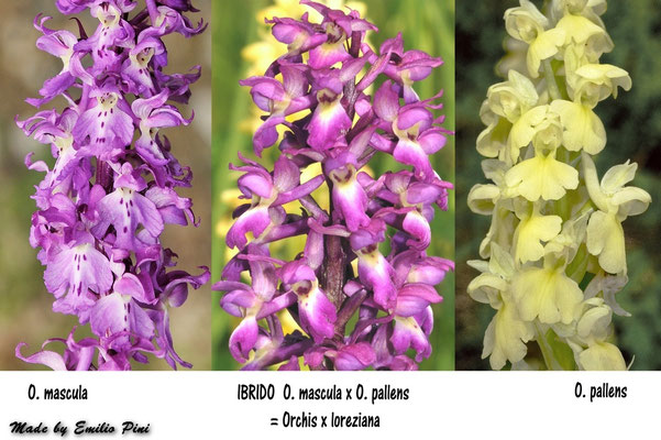 Orchis mascula x Orchis pallens