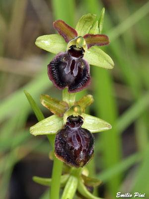 Ophrys passionis subsp. pseudoatrata (Regione Basilicata)