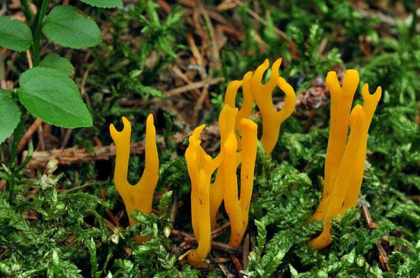 Calocera viscosa (Pers.) Fries (VELENOSO) Foto Emilio Pini