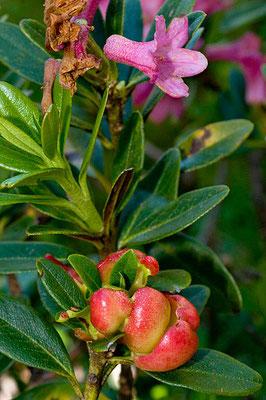 Exobasidium rhododendri (Fuckel) C.E. Cramer (NON COMMESTIBILE)  Foto Emilio Pini