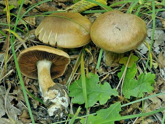 Cortinarius infractus f. olivellus M.M. Moser 1952 (NON COMMESTIBILE) Foto Emilio Pini