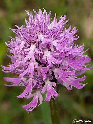 Orchis italica (Regione Puglia)