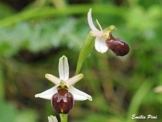 Ophrys exaltata