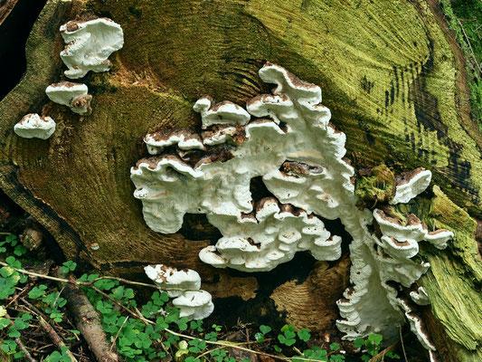 Heterobasidion annosum (Fr.) Bref. (NON COMMESTIBILE) Foto Emilio Pini