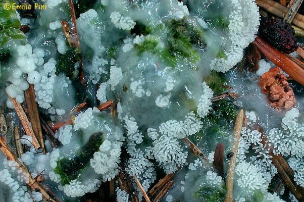 Ceratiomyxa fruticulosa (O.F. Müll.) T. Macbr.      Plasmodio                                (NON COMMESTIBILE)