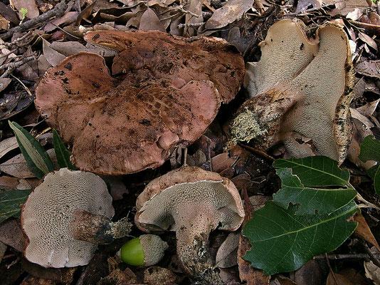 Sarcodon cyrneus Maas Geest. (NON COMMESTIBILE) Foto Emilio Pini