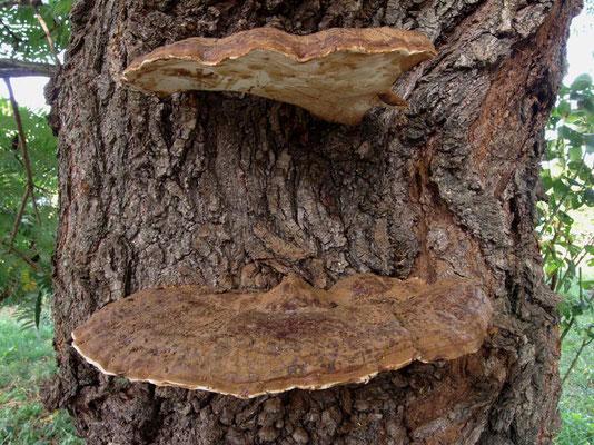 Ganoderma applanatum (Pers.) Pat. (NON COMMESTIBILE) Foto Emilio Pini