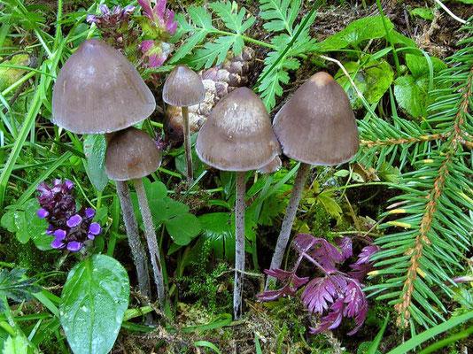Panaeolus rickenii Hora (NON COMMESTIBILE) Foto Emilio Pini