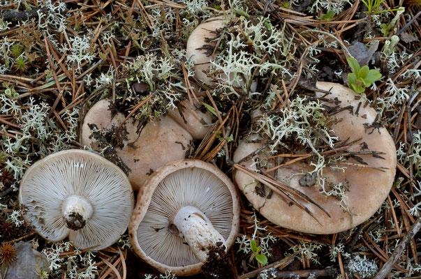 Lactarius musteus Fr. (NON COMMESTIBILE) Foto Emilio Pini
