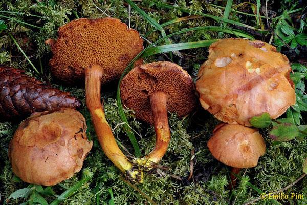 Chalciporus piperatus (Bull.) Bataille (NON COMMESTIBILE)