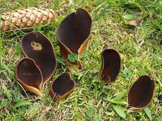 Helvella silvicola (Nannf.) Harmaja (NON COMMESTIBILE)  Foto Emilio Pini