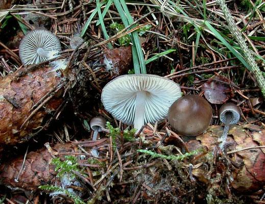Mycena strobilicola J. Favre & Kühner 1938 (NON COMMESTIBILE) Foto Emilio Pini