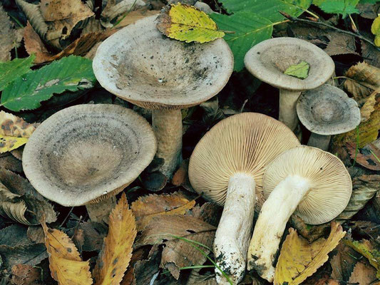 Lactarius circellatus Fr. (NON COMMESTIBILE) Foto Emilio Pini