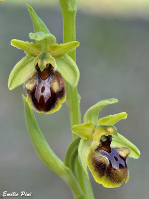 Ophrys massiliensis