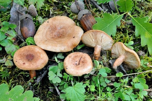 Lactarius fraxineus Romagn. (NON COMMESTIBILE) Foto Emilio Pini