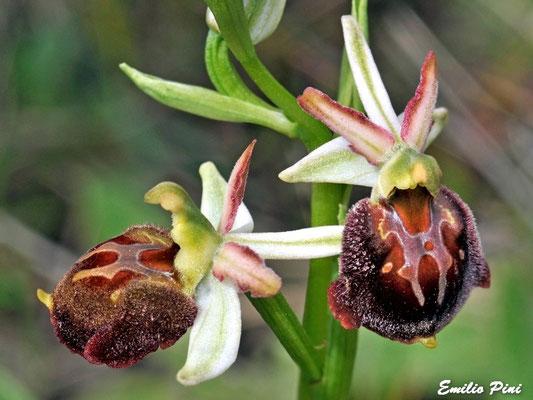 Ophrys morisii (Regione Sardegna)