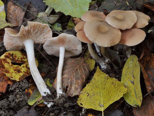 Entoloma rhodopolium (Fr.) P. Kumm. (NON COMMESTIBILE)  Fotp Emilio Pini