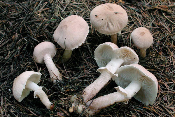 Cystoderma carcharias (Pers.) Fayod  (NON COMMESTIBILE)  Foto Emilio Pini