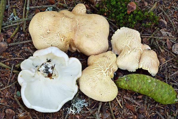 Albatrellus ovinus (Schaeff.) Kotl. & Pouzar (COMMESTIBILE)                      Foto Emilio Pini