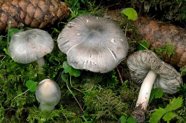 Tricholoma virgatum (Fr.) P. Kumm. 1871 (VELENOSO) Foto Emilio Pini