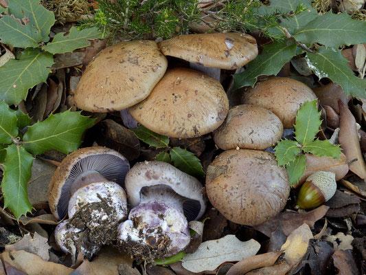 Cortinarius purpurascens Fr. (NON COMMESTIBILE)  Foto Emilio Pini