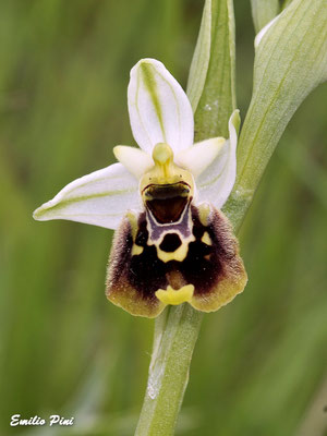 Ophrys holoserica ssp. holoserica