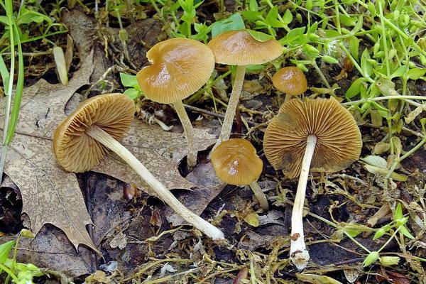 Pholiotina dasypus (Romagnesi)P.-A. Moreau (NON COMMESTIBILE) Foto Emilio Pini