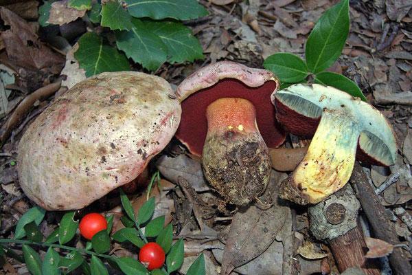 Boletus rhodoxanthus (Krombh.) Kallenb. (NON COMMESTIBILE)  Foto Emilio Pini