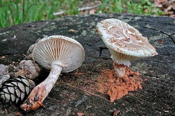 Neolentinus lepideus (Fr.) Redhead & Ginns 1985 (NON COMMESTIBILE) Foto Emilio Pini