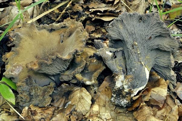 Gomphus clavatus (Pers.) Gray (COMMESTIBILE) Foto Emilio Pini