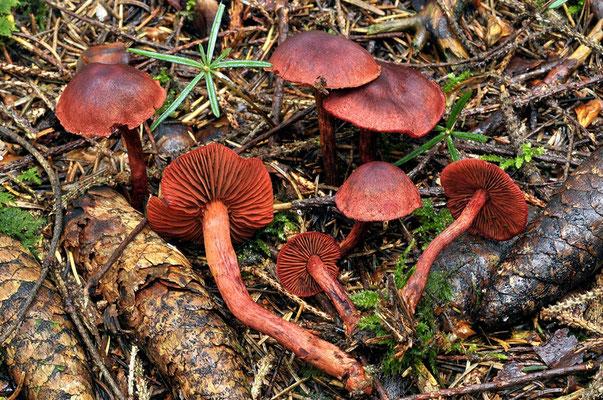 Cortinarius sanguineus (Wulfen) Fr.  (VELENOSO)  Foto Emilio Pini