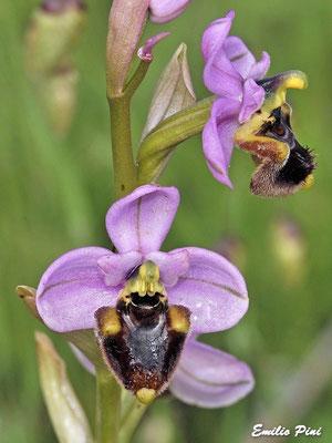 Ophrys tentredinifera neglecta