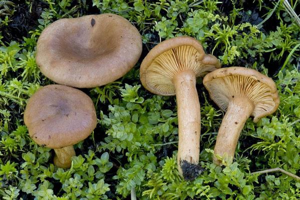 Lactarius hysginoides Korhonen & T. Ulvinen (NON COMMESTIBILE) Foto Emilio Pini